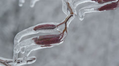 Icy catkins on hazel branch Stock Footage