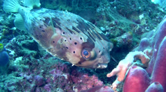 Freckled, Fine-spotted or Long-spine porcupinefish (Diodon holocanthus) Stock Footage