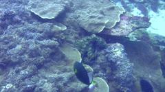 Common reef octopus (Octopus cyanea) chased by damselfish Stock Footage