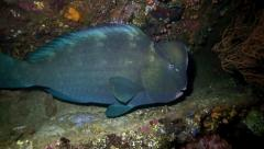 Large bumphead parrotfish sleeping at night inside the Liberty shipwreck Stock Footage