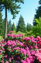 Stock Photo of pink rhododendron garden