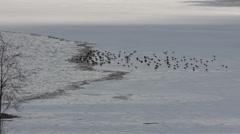 Flock of Northern lapwings sitting on frozen lake Stock Footage