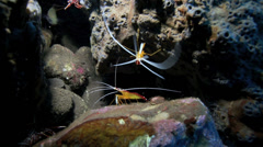 Orange skunk and hinge beak cleaner shrimp at cleaning station underwater Stock Footage