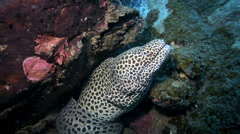 Black spotted moray eel in its underwater hole amongst coral reef Stock Footage