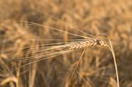Stock Photo of detail of barley