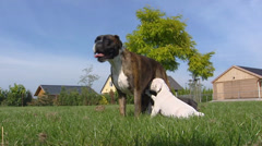 Suckling boxer pups in yard - low angle Stock Footage