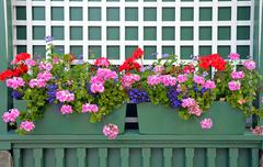 geranium planters - stock photo