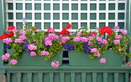 Stock Photo of geranium planters