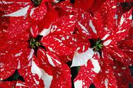 Stock Photo of red and white poinsettia flowers