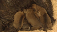 Stock Video Footage of Cairn terrier nursing sleepy pups (1 day old) - close up