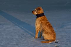 Golden Doodle Sits on Ice Stock Photos