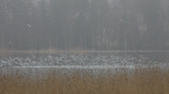 Seagulls flying up from a lake on a foggy day Stock Footage