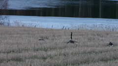 Canada geese dipping their necks in a mating dance Stock Footage