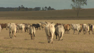 Stock Video Footage of Australian Herd Of Cattle