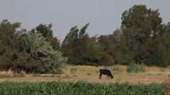 Cow in a field in Bahariya Oasis, Egypt Stock Footage