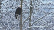 Stock Video Footage of Alaskan Bald Eagle Perched on Branches of Snowy Tree in Winter