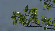Stock Video Footage of Alder Leaves on Twig in Breeze by Lake