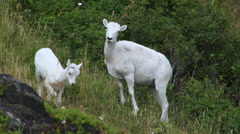 Baby Mountain Goat with Adults on Windy Mountainside Stock Footage