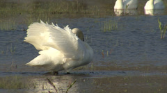 White swans in the lake. Birds performing nesting games in the water. Stock Footage