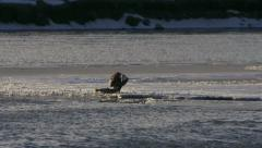 Bald Eagle with Writhing Salmon Fish on Icy Riverbank Stock Footage