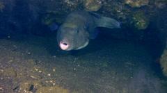 Blue-spotted pufferfish (Arothron caeruleopunctatus) Stock Footage