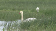 Stock Video Footage of Swimming swan in the lake with reed background. Hero in the background.