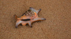 Mollusk family Lyambis on the beach Stock Footage