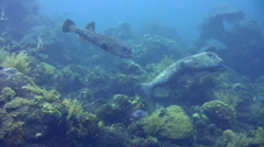Black spotted porcupinefish (Diodon hystrix) mating dance Stock Footage