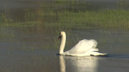 Stock Video Footage of White swans in the lake. Birds performing nesting games in the water.