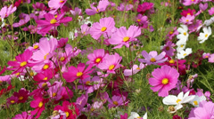 beautiful cosmos flower in field with wind blow - stock footage