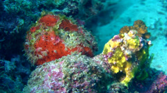 Painted frogfish (Antennarius pictus) with warty frogfish Stock Footage