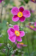 Pink anemone flowers Stock Photos
