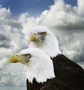 American bald eagles Stock Photos