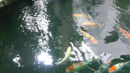Stock Video Footage of Pond filled with different colors of koi fish (KOI FISH--1B)