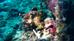 Warty frogfish (Antennarius maculatus) brown Stock Footage