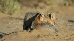 Cape foxes Stock Footage