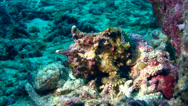 Stock Video Footage of Warty frogfish (Antennarius maculatus) brown