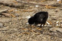 Black Baby chicken pecking the ground - stock photo