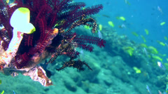 Ornate ghostpipefish (Solenostomus paradoxus) black - stock footage