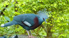 Victoria crowned pigeon Stock Footage