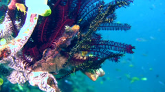 Ornate ghostpipefish (Solenostomus paradoxus) black - stock footage