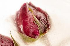 frozen red rose in white frost - stock photo
