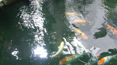 Ornamental pond with colorful Koi fishes swimming Stock Footage