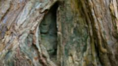 Stone face buried in the roots of a tree. angkor, cambodia Stock Footage