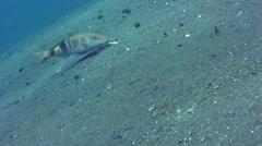 Banded or Manybar goatfish (Parupeneus multifasciatus) Stock Footage