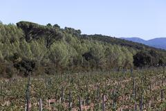 wine growing in the south of france - stock photo