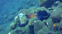 Coral or Vermilion grouper (Cephalopholis miniata) Stock Footage
