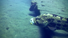 Brown-marbeled (Epinephelus fuscoguttatus) eating pufferfish Stock Footage
