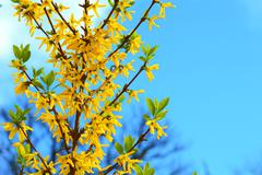 Forsythia blooming in spring - stock photo