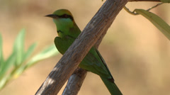 Green Bee eater Sitting On A Branch In A Tree Stock Footage